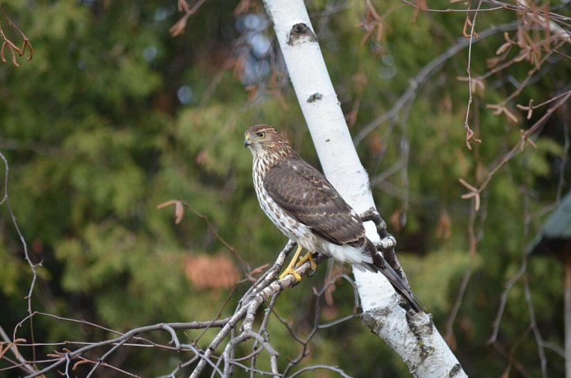 juvenile coopers hawk sitting in tree - toronto - ontario 5
