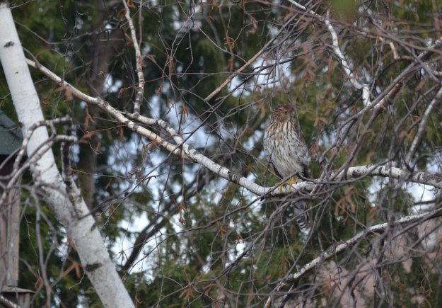 juvenile coopers hawk sitting in tree - toronto - ontario