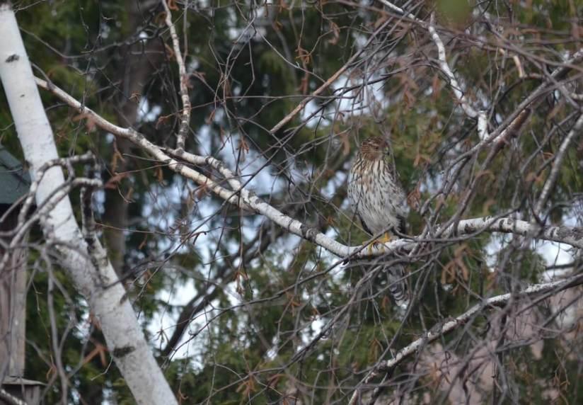 juvenile coopers hawk sitting in tree - toronto - ontario
