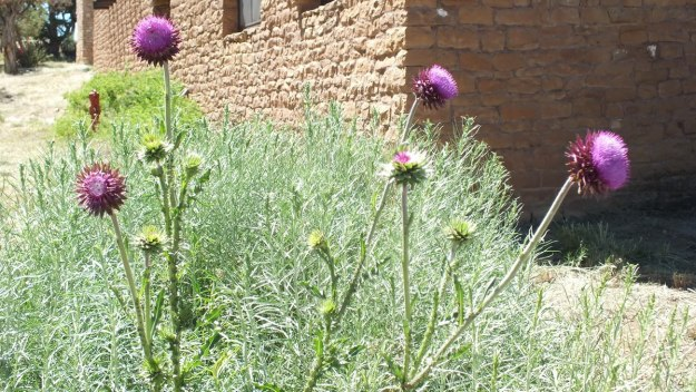 musk thistle, mesa verde national park, colorado, 2