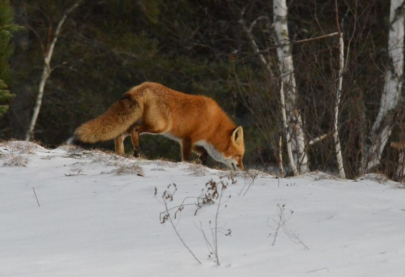 red fox in algonquin park - november 2014 pic 10
