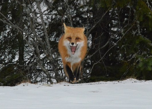 Red fox in the winter in Algonquin Park in Ontario, Canada