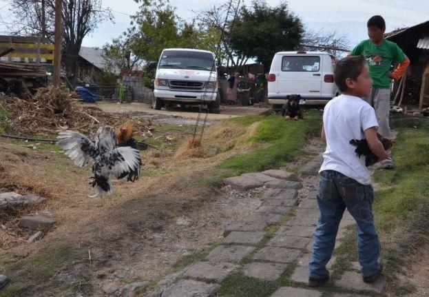 cockfighting near angangueo - mexico 3