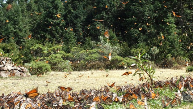 Monarch butterflies on the ground at El Rosario Monarch Butterfly Reserve