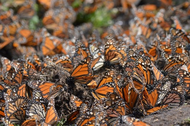 Close up of Monarch butterflies along creek at El Rosario Monarch Butterfly Reserve, in Michoacán, Mexico