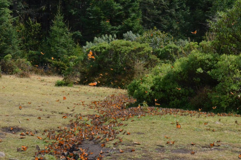 Monarch butterflies along creek at El Rosario Monarch Butterfly Reserve, in Michoacán, Mexico