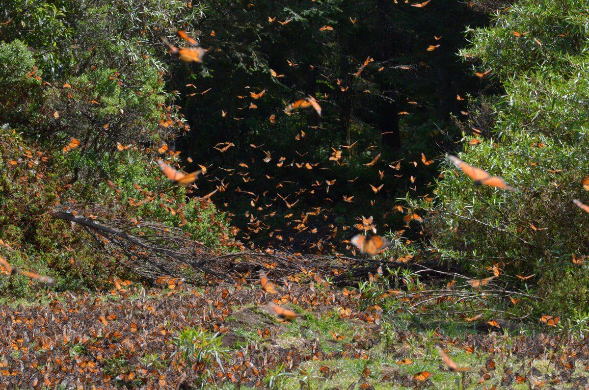monarch butterflies along creek at el rosario biosphere reserve, mexico 9