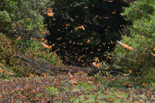 An image of Monarch butterflies in flight and along the creek at El Rosario Biosphere Reserve in Mexico. Photography by Frame To Frame - Bob and Jean.