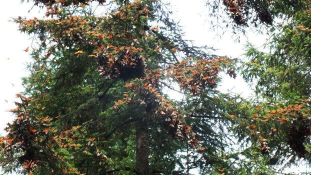 Monarch butterflies on trees at Cerro Pelon Monarch Butterfly Sanctuary, near Macheros, Mexico