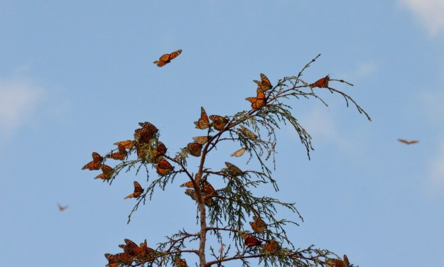 Monarch butterflies on a tree at Cerro Pelon Monarch Butterfly Sanctuary, near Macheros, Mexico