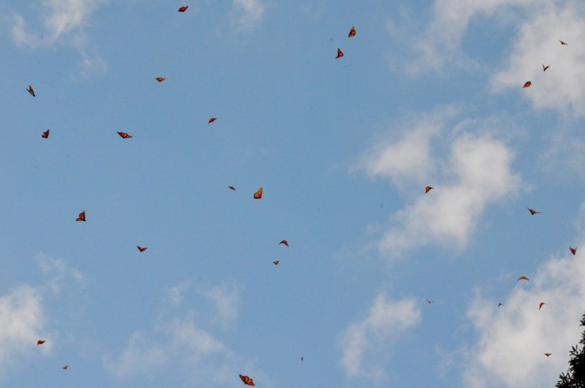 Monarch butterflies in flight above Cerro Pelon Monarch Butterfly Sanctuary, near Macheros, Mexico