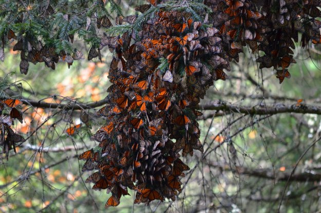 Monarch butterflies fluttering at El Rosario Monarch Butterfly Reserve, in Michoacán, Mexico