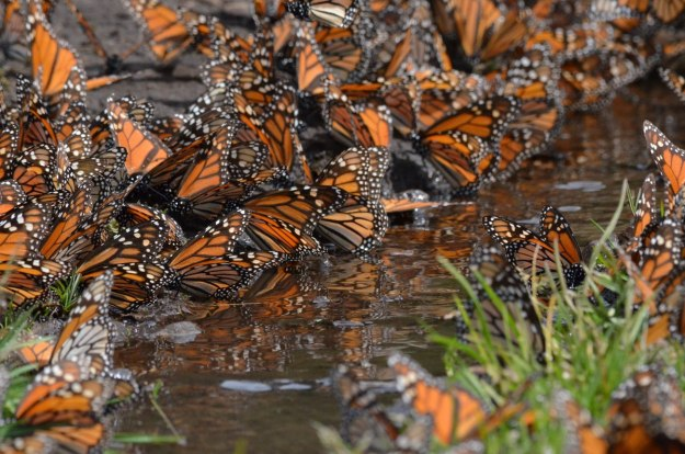 Close up of Monarch butterflies drinking along creek at El Rosario Monarch Butterfly Reserve, in Michoacán, Mexico