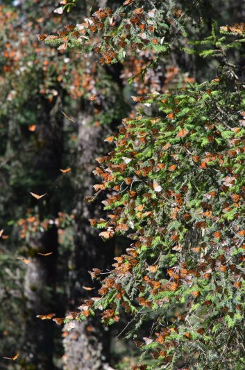 Monarch butterflies on a fir tree branch at Sierra Chincua Butterfly Sanctuary near Angangueo, Mexico