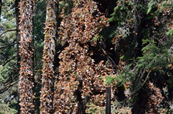 photograph of thousands of monarch butterflies in flutter on trees at Sierra Chincua Butterfly Sanctuary in Mexico