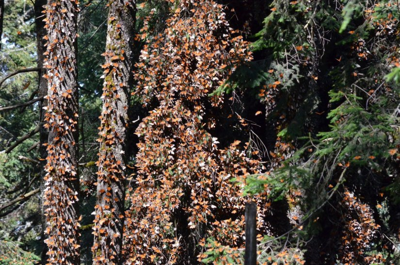 monarch butterflies at sierra chincua butterfly sanctuary, mexico 5
