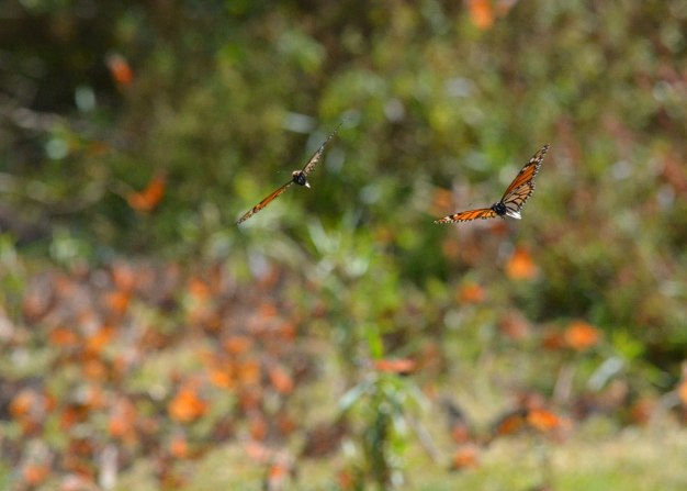 Two Monarch butterflies in flight at El Rosario Monarch Butterfly Reserve, in Michoacán, Mexico