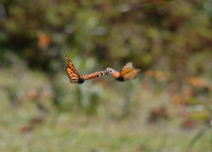 Monarch butterflies at El Rosario Monarch Butterfly Reserve, in Michoacán, Mexico