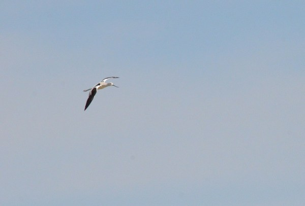 American avocet in flight over Lago de Cuitzeo, in the Michoacán State, Mexico