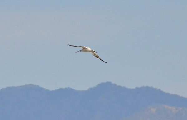 American avocet in flight at Lago de Cuitzeo, in the Michoacán State, Mexico
