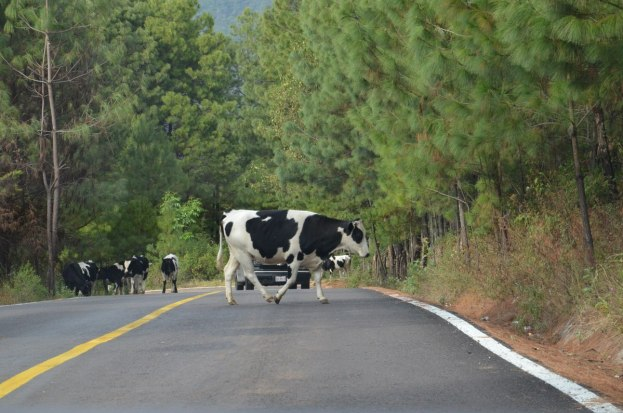 dairy cows on road, angangueo, mexico