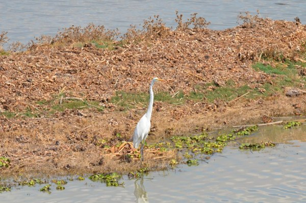 Great egret along shore of Lago de Cuitzeo, in the Michoacán State, Mexico