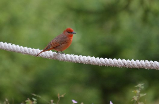 hepatic tanager at El Rosario Monarch Butterfly Preserve - mexico
