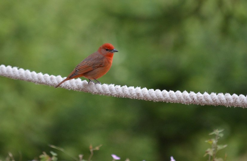 Hepatic Tanager -male- on rope fence at El Rosario Monarch Butterfly Reserve, in Michoacán, Mexico