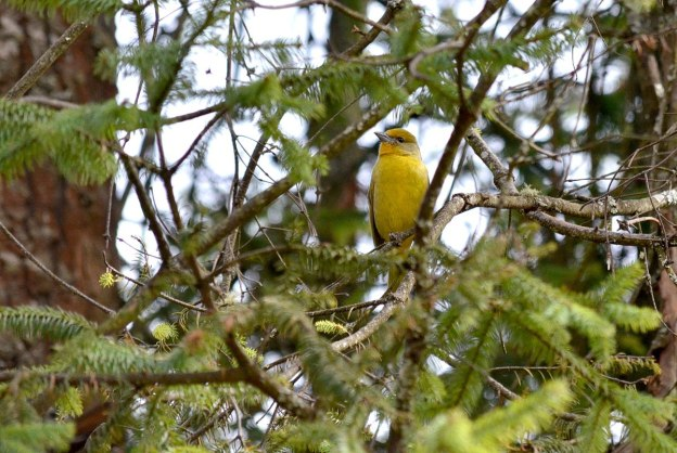 Female Hepatic Tanager sitting on a fir tree at El Rosario Monarch Butterfly Reserve, in Michoacán, Mexico