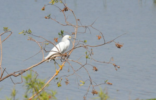Snowy Egret sitting in a tree at Lago de Cuitzeo, in the Michoacán State, Mexico