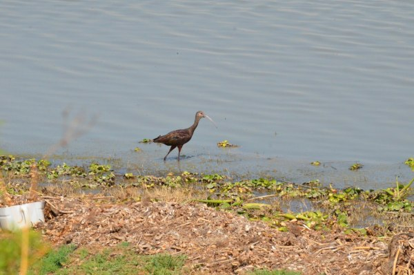 White-faced ibis at Lago de Cuitzeo, in the Michoacán State, Mexico
