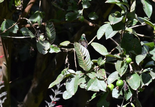 Berylline Hummingbird among leaves at Hotel Rancho San Cayetano zitacuaro, mexico, 1