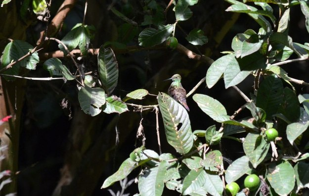 Berylline Hummingbird sitting on a tree at Hotel Rancho San Cayetano in Zitacuaro, Mexico