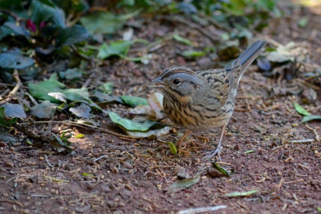 Lincoln's sparrow at zitacuaro, michoacan, mexico, 5