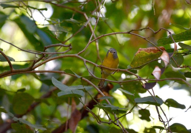 Nashville Warbler on a tree at Hotel Rancho San Cayetano, Zitacuaro, Mexico