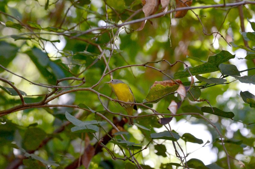 Nashville Warbler at Hotel Rancho San Cayetano, Zitacuaro, Mexico