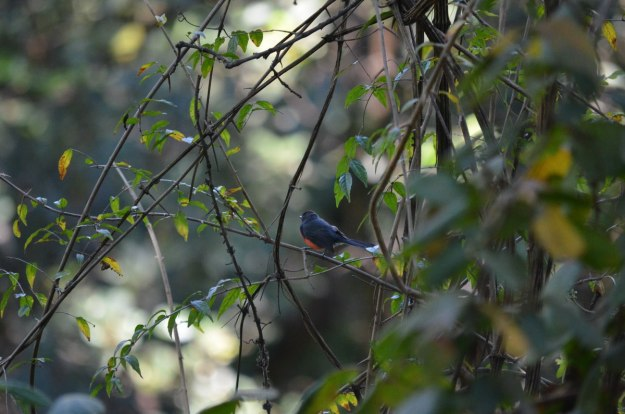 Slate-throated Redstart at hotel rancho san cayetano, zitacuaro, mexico, 1