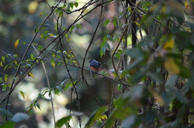Slate-throated Redstart at hotel rancho san cayetano, zitacuaro, mexico, 11