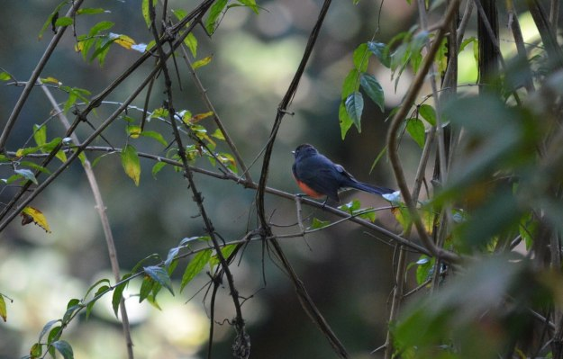 Slate-throated Redstart at hotel rancho san cayetano, zitacuaro, mexico, 6