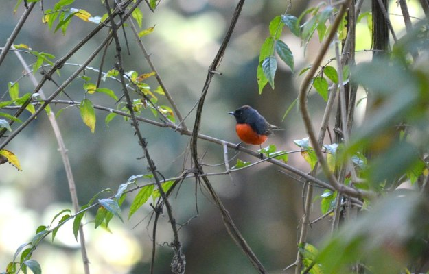 Slate-throated Redstart at hotel rancho san cayetano, zitacuaro, mexico, 7