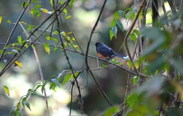 Slate-throated Redstart at hotel rancho san cayetano, zitacuaro, mexico, 8