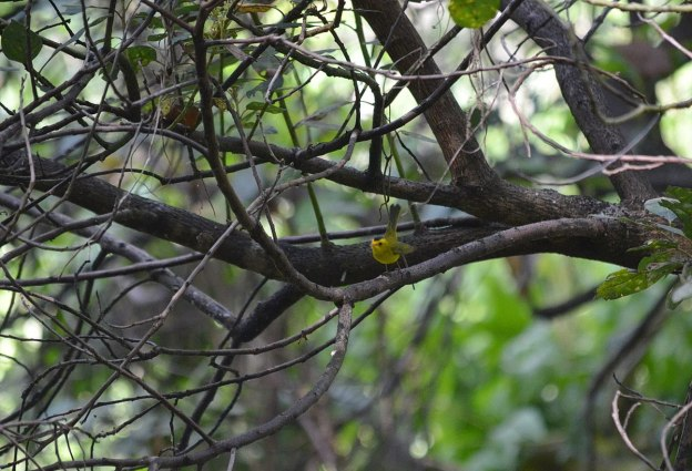 Wilson's Warbler with tail up at Hotel Rancho San Cayetano, in Zitacuaro