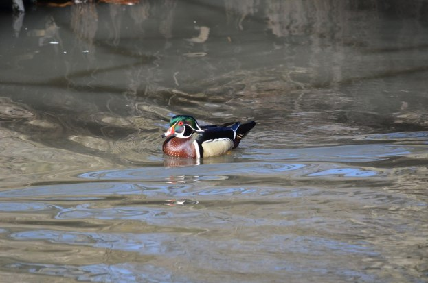Wood Duck, male, High Park, Toronto 1
