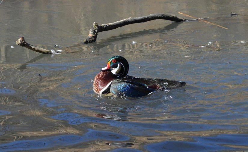 Wood Duck, male, High Park, Toronto 6