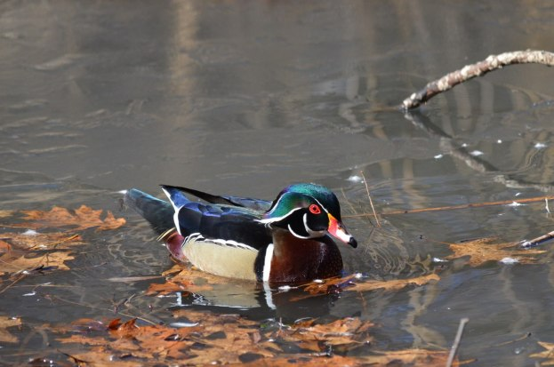 Wood Duck, male, High Park, Toronto 8