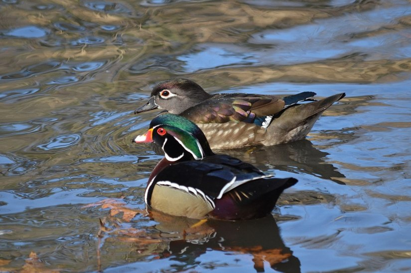 Wood Ducks at High Park, Toronto
