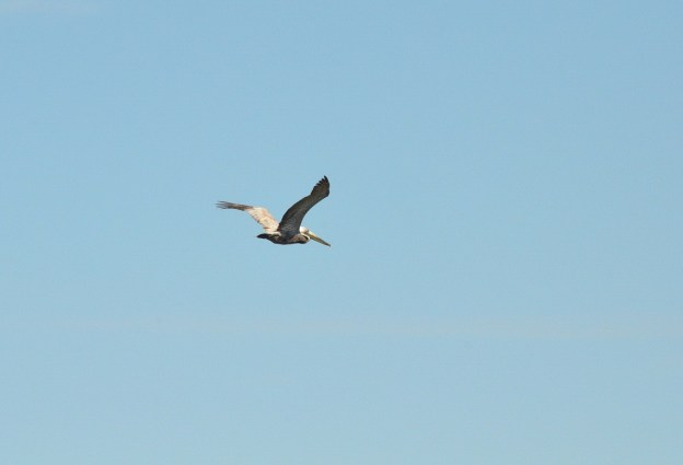 Brown pelican in flight over San Blas, State of Nayarit, Mexico