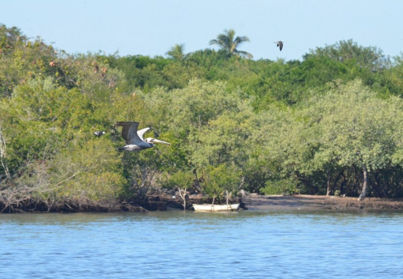 Brown pelicans in flight over San Blas harbour, State of Nayarit, Mexico