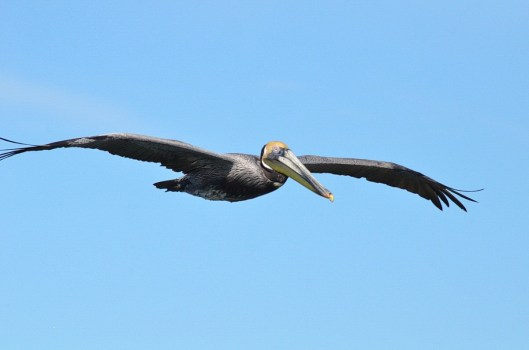 brown pelican, san blas, nayarit, mexico, pic 8