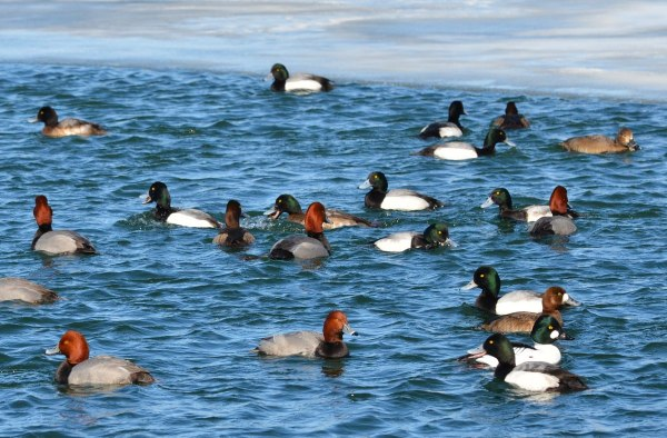 greater scaup ducks, tommy thompson park, toronto pic 1